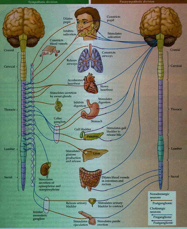 sistema-nervoso-simpatico-e-parasimpatico